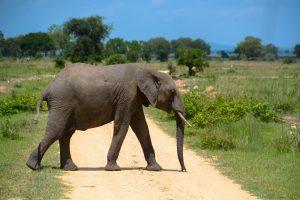Safari Mikumi Elephants
