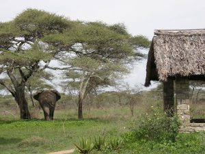 Ndutu elephant