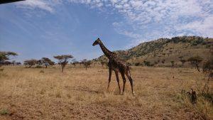 Masai Giraffe Serengeti