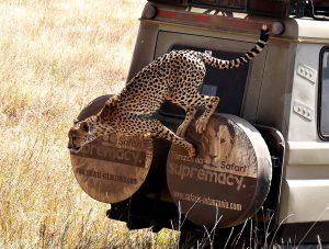 Tanzania Serengeti safari cheetah