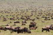 Wildebeests Serengeti