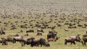 Wildebeests Serengeti