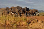 Wildlife Mikumi Elephants