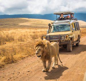 lion male safari tanzania