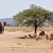 tanzania wildlife safari camping