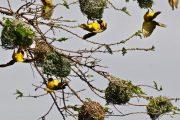 Ngorongoro Crater Weaver Birds