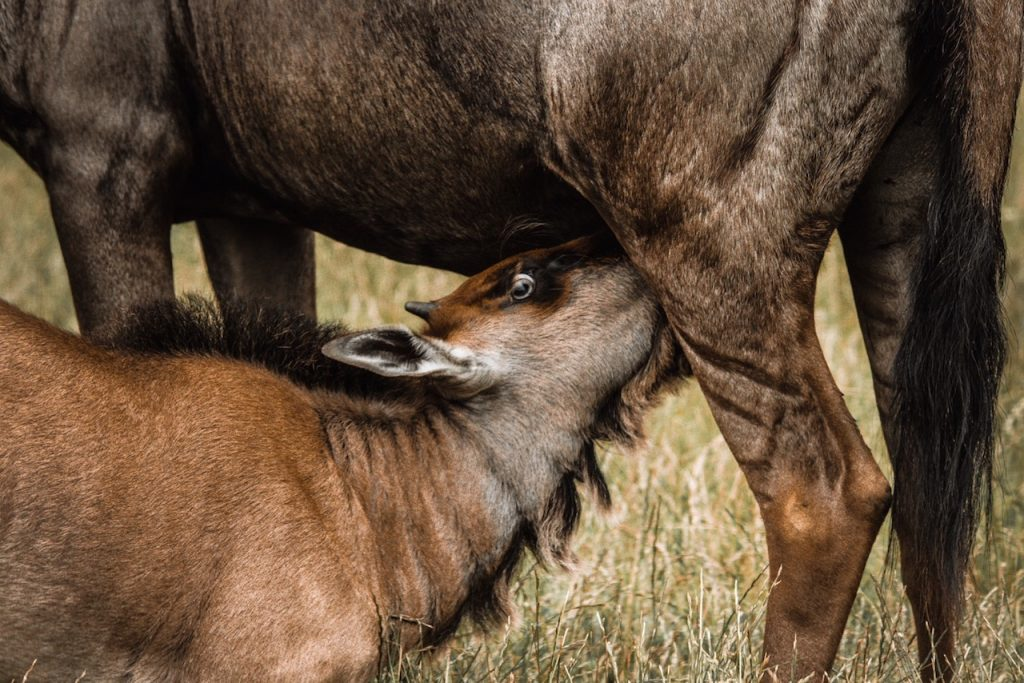 Calving Safari Tanzania Wildebeests MIgration