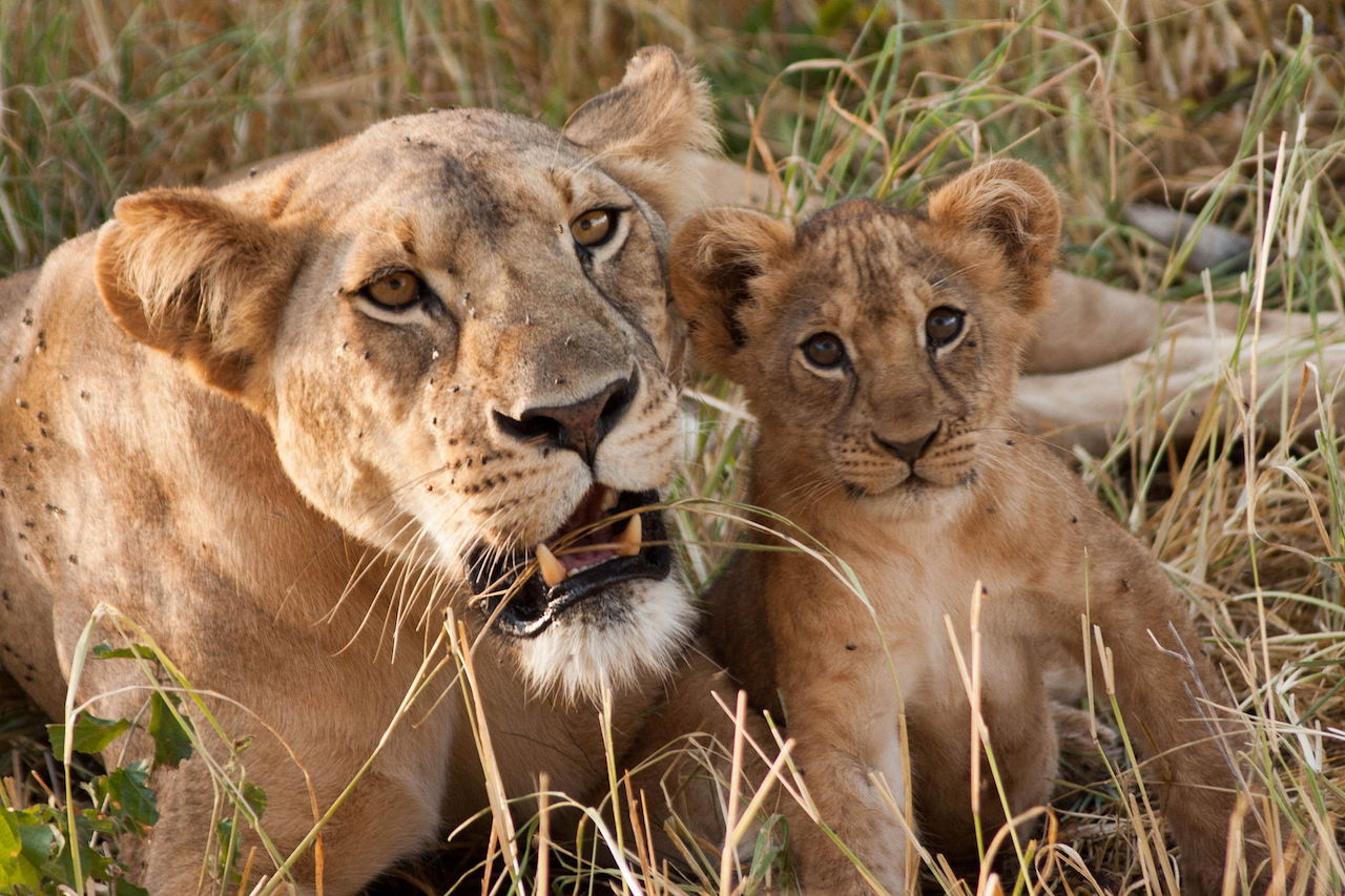 Lioness-cub-Tanzania-safari