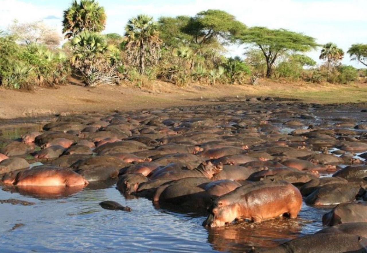 Hippos in Katavi
