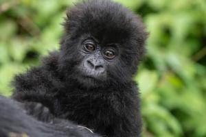 Gorilla naming rwanda