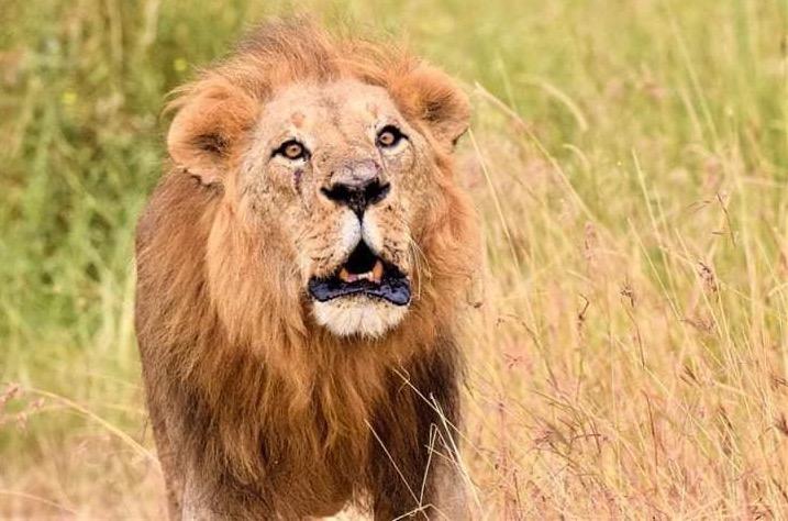 Lion Serengeti Park Tanzania