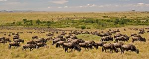 wildebeestts migration in Serengeti