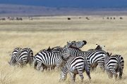 Zebras Tanzania Safari