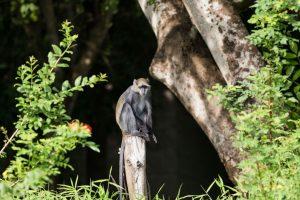 Selous safari Monkey