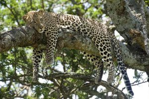 leopard selous safari from zanzibar