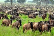 Zanzibar safari wildebeests migration