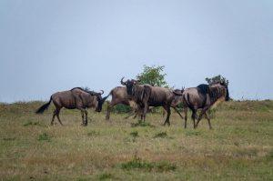 Kenya Tanzania safari wildebeests
