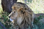 Luxury safari Tanzania Lions