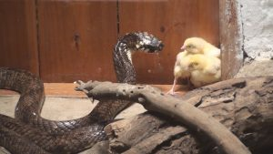 Meserani Snake Park feeding