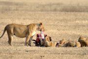 Tanzania safari Lionesses feeding