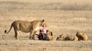 Tanzania safari Lionesses feeding