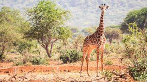 Young giraffe safari Tanzania