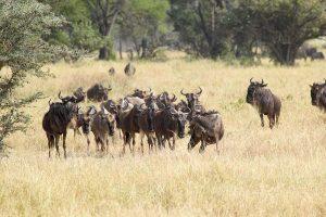 Wildebeests Migration Serengeti North