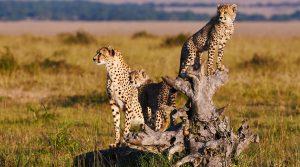 4 days Tanzania Budget Camping Cheetah