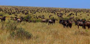 wildlife of Serengeti