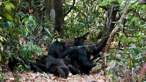 Chimpanzees Mahale National Park