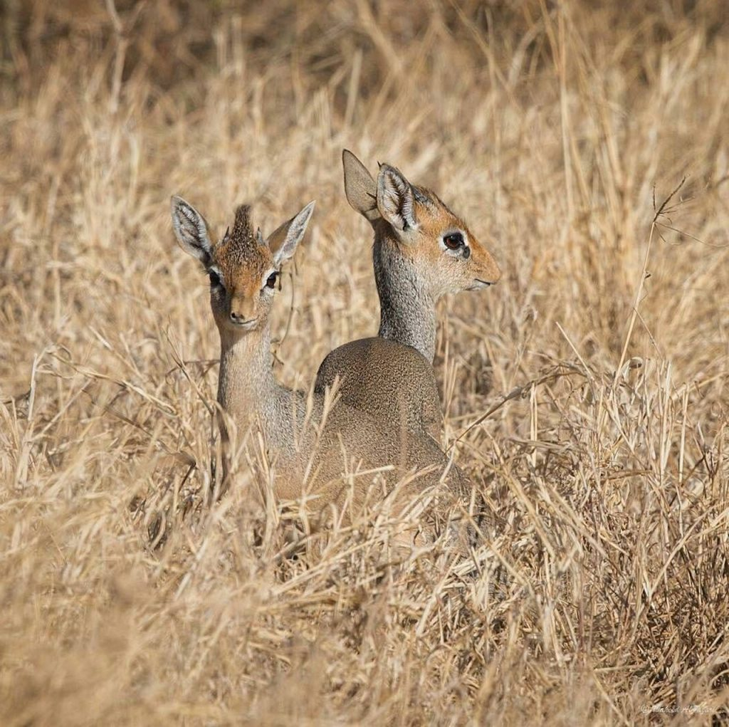 Dik Dik in Serengeti National Park