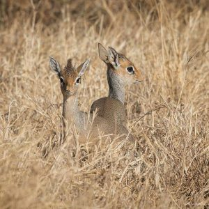 Dik Dik in Serengeti National Park