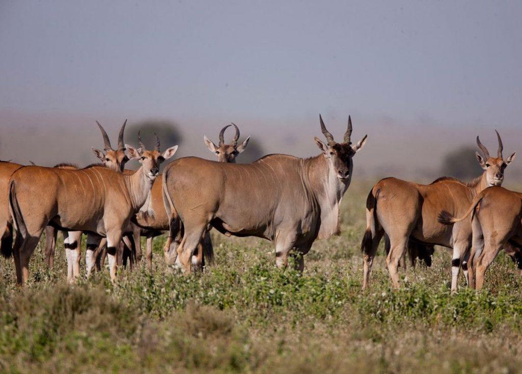Elands Serengeti Tanzania