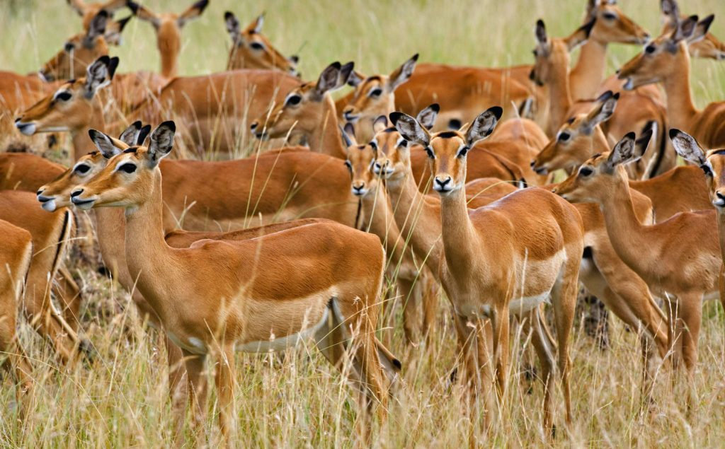 Impalas at Serengeti