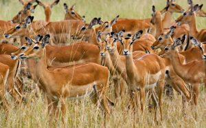 Impalas at Serengeti