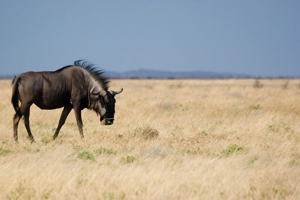 Serengeti Wildebeests