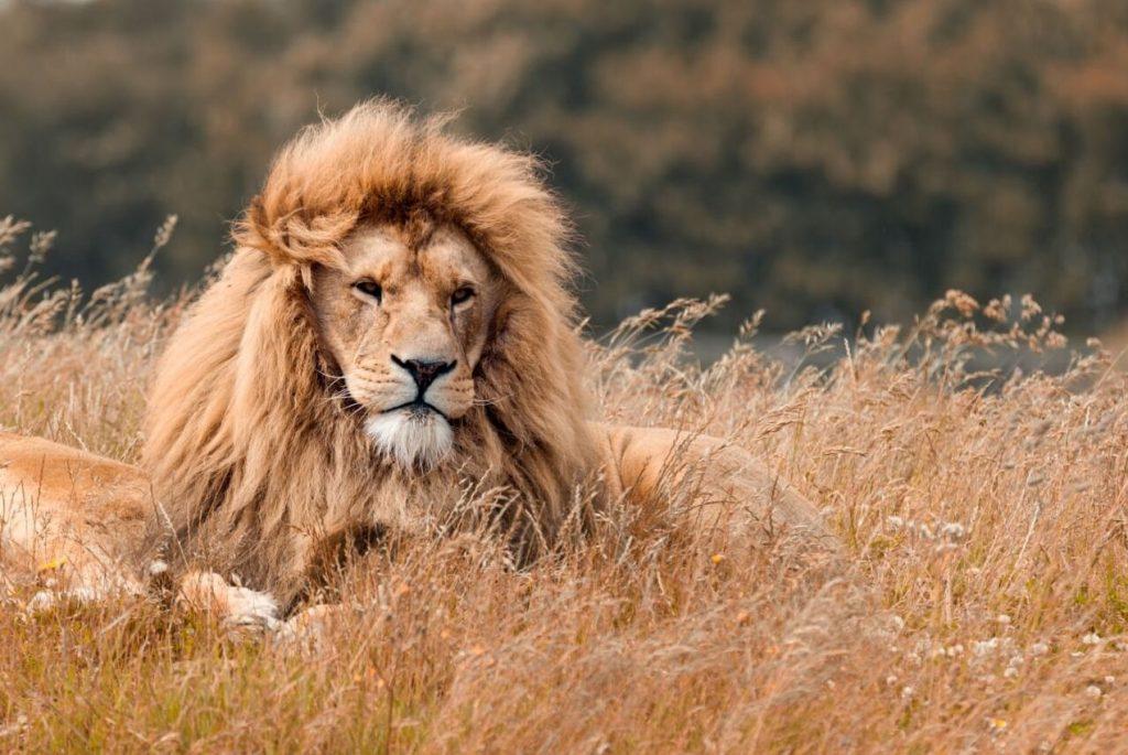 Lion Tanzania Big Five