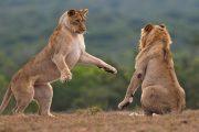 2 day safari Zanzibar lions play