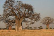 2 days Zanzibar safari tour baobabs