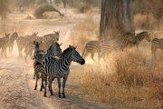 Two day safari from Zanzibar Zebras